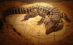 Tegu lizards can grow up to 4ft in length but there is definitely nothing 'humanoid' about them.